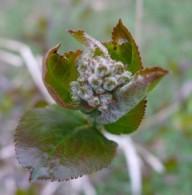 Aronia Tagebuch – Pflanzenchronik Teil 3