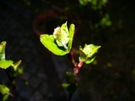 Aroniablüten sind schon da