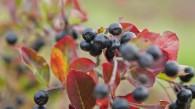 Der Aroniapflanzen und Wildobst – Blog startet