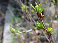 Erste Blütenansätze zeigen sich bei der Aronia