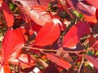Aronia Hugin – ein wunderschöner Zierstrauch für jeden Garten