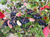 Aronia Halbstämme hängen voller Beeren – Tipps zur richtigen Erntezeit!