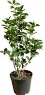 Aroniapflanzen wieder verfügbar!
