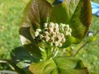 Aronia Tagebuch – Pflanzenchronik Teil 4
