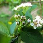 Aronia Nero Blüte im Mai
