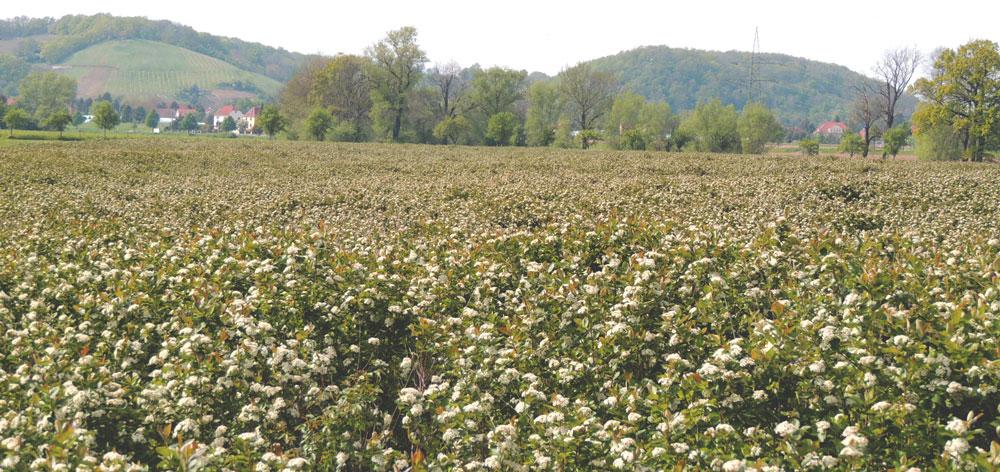 Aroniablüte auf Plantage