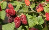 Tayberry 40/60cm getopft (Rubus Tayberries)